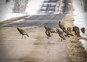 Turkeys Prints - County Road Crew Print by Thomas Young