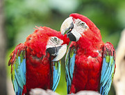 Talking Photo Metal Prints - Couple Macaws Metal Print by Anek Suwannaphoom