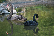 Wet Fly Prints - Couple of black swans Print by Eti Reid