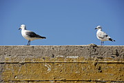 Surrounding Wall Prints - Couple of Seagulls on a wall Print by Sami Sarkis