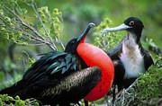 Sidney Bahrt - Courting Great Frigatebirds