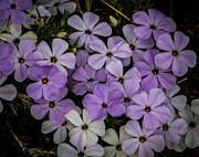 Mitch Shindelbower Prints - Covilles Phlox Print by Mitch Shindelbower