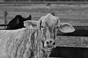 Wibada Photo Prints - Cow 222 Print by Lynda Dawson-Youngclaus