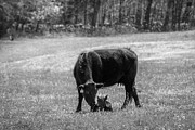 Boone County Prints - Cow /calf b/w Print by Bob King