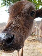 Cow Closeup Print by Abhinav Krishna Dwivedi