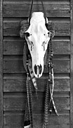 Wood Wall Hanging Framed Prints - Cow Elk Skull and Feathers Framed Print by Karon Melillo DeVega