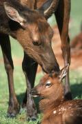 Alaska Wildlife Photos - Cow Elk Tending To Its Calf by Doug Lindstrand
