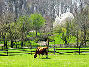 Fence Prints - Cow Grazing in Pasture in Spring Print by Susan Savad