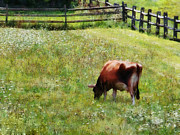Fences Posters - Cow Grazing in Pasture Poster by Susan Savad