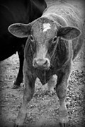 Kelly Hazel Acrylic Prints - Cow II Acrylic Print by Kelly Hazel