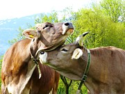 Swiss Horn Metal Prints - Cow Love Metal Print by Hilary Rhodes