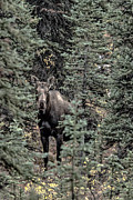 Denali National Park Photos - Cow Moose During Rut by Thomas Sellberg