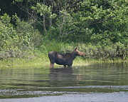 Wildlife Photography Prints - Cow Moose River Snack Print by Neal  Eslinger