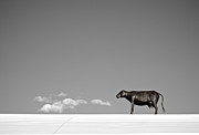 Mary Lee Dereske - Cow On A Hot Tin Roof   BW
