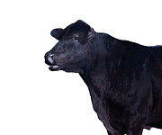 Black Angus Metal Prints - Cow on White Metal Print by Ann Powell