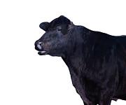 Cow On White Print by Ann Powell