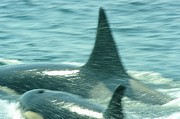 Cow Orca And Her Calf Print by Jeff  Swan