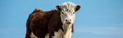 Beef Photo Posters - Cow Panoramic Portrait Poster by Edward Fielding