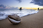 Sea Shell Prints - Cowrie Sunrise Print by Sean Davey