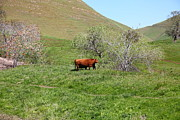 Old Country Roads Prints - Cows Along The Rolling Hills Landscape of The Black Diamond Mines in Antioch California 5D22303 Print by Wingsdomain Art and Photography