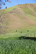 Regional Metal Prints - Cows Along The Rolling Hills Landscape of The Black Diamond Mines in Antioch California 5D22319 Metal Print by Wingsdomain Art and Photography