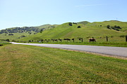 Bulls Metal Prints - Cows Along The Rolling Hills Landscape of The Black Diamond Mines in Antioch California 5D22326 Metal Print by Wingsdomain Art and Photography