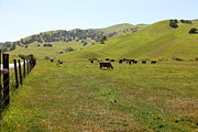 Regional Metal Prints - Cows Along The Rolling Hills Landscape of The Black Diamond Mines in Antioch California 5D22327 Metal Print by Wingsdomain Art and Photography