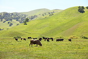 Bulls Metal Prints - Cows Along The Rolling Hills Landscape of The Black Diamond Mines in Antioch California 5D22328 Metal Print by Wingsdomain Art and Photography