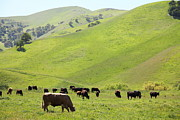 Bulls Metal Prints - Cows Along The Rolling Hills Landscape of The Black Diamond Mines in Antioch California 5D22329 Metal Print by Wingsdomain Art and Photography