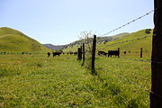 Bulls Metal Prints - Cows Along The Rolling Hills Landscape of The Black Diamond Mines in Antioch California 5D22339 Metal Print by Wingsdomain Art and Photography