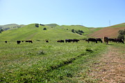 Bulls Metal Prints - Cows Along The Rolling Hills Landscape of The Black Diamond Mines in Antioch California 5D22346 Metal Print by Wingsdomain Art and Photography