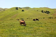 Regional Metal Prints - Cows Along The Rolling Hills Landscape of The Black Diamond Mines in Antioch California 5D22350 Metal Print by Wingsdomain Art and Photography