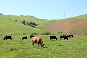 Bulls Metal Prints - Cows Along The Rolling Hills Landscape of The Black Diamond Mines in Antioch California 5D22355 Metal Print by Wingsdomain Art and Photography