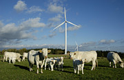 Power Plants Prints - Cows and windturbines Print by Bernard Jaubert