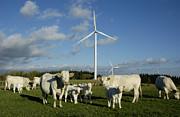 Cows And Windturbines Print by Bernard Jaubert
