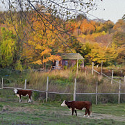 Autumn Farm Scenes Posters - Cows Poster by Bill  Wakeley