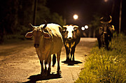 Sarita Rampersad - Cows Coming Home