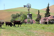 Bulls Metal Prints - Cows Home On The Ranch At The Black Diamond Mines in Antioch California 5D22345 Metal Print by Wingsdomain Art and Photography
