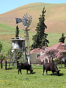Bulls Metal Prints - Cows Home On The Ranch At The Black Diamond Mines in Antioch California 5D22354 Metal Print by Wingsdomain Art and Photography