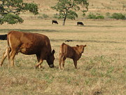 Pastureland Prints - Cows in the Pasture Print by Maureen J Haldeman