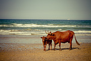 Sun Pyrography Prints - Cows On Sea Coast Print by Raimond Klavins