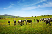 Cows Photos - Cows Pasturing by Carlos Caetano