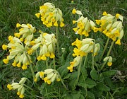 Ann Fellows - Cowslips Wildflowers.