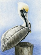 Pelican Drawings Metal Prints - Coy Pelican Metal Print by Heather Mitchell