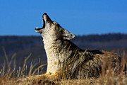 Bill Keeting - Coyote Howling YNP