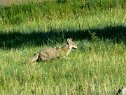 Rincon Road - Coyote in Boulder...