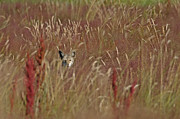 Brush Wolf Posters - Coyote in the Grass Poster by Sharon  Talson