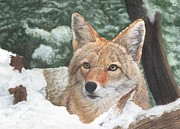Marlene Piccolin - Coyote