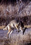 Steven Ralser - Coyote