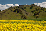Mustard Fields Forever - Coyote Valley by Glenn Franco Simmons